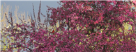 Spring Trees with Cardinal